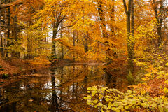 Autumn beech foliage reflecting in forest fen. Royalty Free Stock Photography