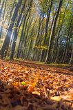 Autumn beech forest. With some ray of light Stock Photos