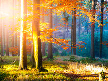 Autumn in beech forest. Beautiful warm scenery with first morning sun rays in misty autumnal forest Royalty Free Stock Photo