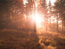 Autumn in beech forest. Beautiful warm scenery with first morning sun rays in misty autumnal forest Royalty Free Stock Image