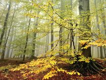 autumn beech forest in the fog Stock Image