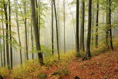 Autumn beech forest in the fog royalty free stock photography