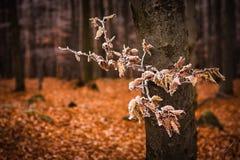 Autumn beech forest Stock Image