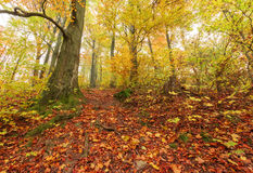 Autumn beech forest Stock Photography