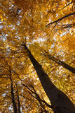 Autumn in the Beech Forest Stock Photography