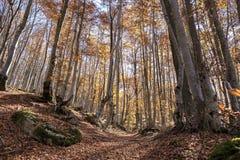 Autumn Beech Forest Landscape Stock Photo
