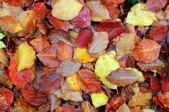 Autumn beech forest leaves yellow red golden floor. Colorful stock photos