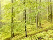 Autumn beech forest in the mountains Stock Photography