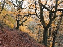 Autumn beech forest path on a steep hillside with yellow foliage. Autumn beech forest path on steep hillside with yellow foliage and fallen leaves covering a Royalty Free Stock Photos