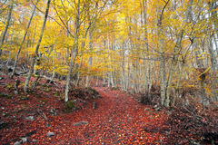 Autumn beech forest Stock Photography