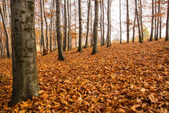 Autumn in beech forest Royalty Free Stock Photo