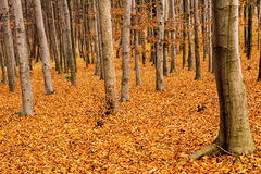 Autumn in beech forest Royalty Free Stock Photos