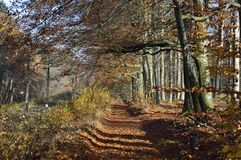 Autumn. In the beech forest Royalty Free Stock Photos