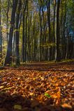 Autumn beech forest. With some ray of light Stock Image