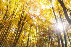 Autumn beech forest with sunlight through the trees Stock Photo