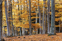 Autumn in beech forest, transylvania, romania. Royalty Free Stock Images
