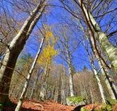 Autumn beech forest Royalty Free Stock Photos
