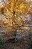 Autumn beech forest witj fall foliage. Stock Image