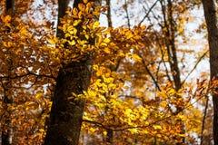 Autumn beech Royalty Free Stock Image