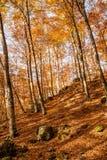 Autumn beech Stock Image