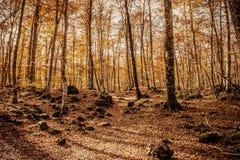 Autumn beech Stock Photo