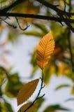 Autumn Beech Leaf dourado imagens de stock