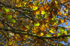 Autumn Beech Leaves. On branches Royalty Free Stock Image
