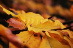 Autumn beech leaves. Color detail of the autumn beech leaves Royalty Free Stock Photography