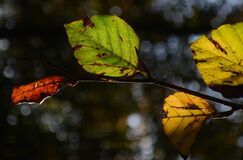 Autumn beech leaves Royalty Free Stock Photo