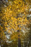 Beech tree in autumn in the Cairngorms of Scotland. Stock Photography