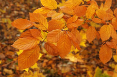 Autumn beech leaves Royalty Free Stock Image