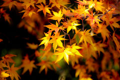 Autumn beech leaves decorate a beautiful nature background Stock Photography