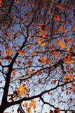 Autumn Beech Leaves. Royalty Free Stock Photo