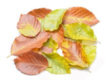 Autumn beech leaves Royalty Free Stock Images