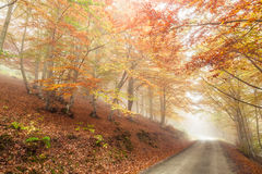 Autumn beech Royalty Free Stock Photos