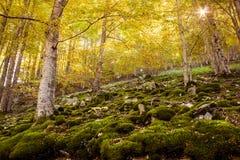 Autumn beech Stock Photos