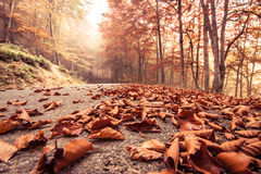 Autumn beech road Royalty Free Stock Photos