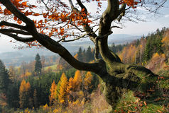 Autumn Beech tree. Twisted Beech tree in autumn colored forest in the background Stock Photos