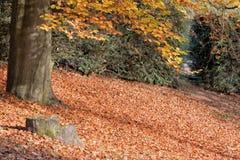 Autumn Beech Tree imagens de stock