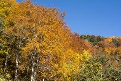 Autumn Beech Tree foto de stock royalty free