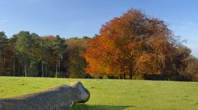 Autumn Beech Tree e log imagens de stock royalty free