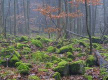 Autumn beech tree forest with boulders stones covered by lush gr. Een moss misty landscape Royalty Free Stock Image