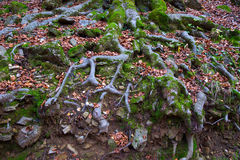Autumn beech tree forest roots in Pyrenees Valle de Ordesa Stock Photo