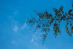 Autumn Beech Tree Leaves em um céu azul fotografia de stock royalty free