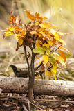 Autumn Beech Tree pequeno fotos de stock royalty free