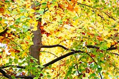 Autumn Beech tree. Varied colours of the leaves of a beech tree in Autumn Royalty Free Stock Photos