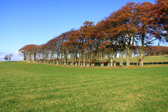 Autumn beech trees. Line of beech trees crossing green field in autumn colours with blue sky Royalty Free Stock Photo