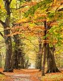 Autumn Beech. Beech trees in fall scene stock photo