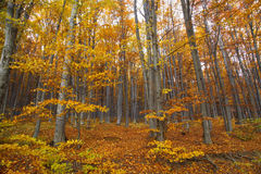 Autumn beech trees forest Royalty Free Stock Photos
