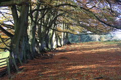 Autumn beech wood. Landscape of autumn beech trees with carpet of fallen leaves and the sun shining through the branches Royalty Free Stock Photography